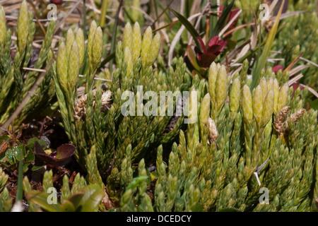 Alpine Clubmoss, Alpen-Bärlapp, Alpenbärlapp, Alpen-Flachbärlapp, Diphasium alpinum, Diphasiastrum alpinum, Lycopodium - Stock Photo