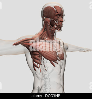 Male upper body anatomy