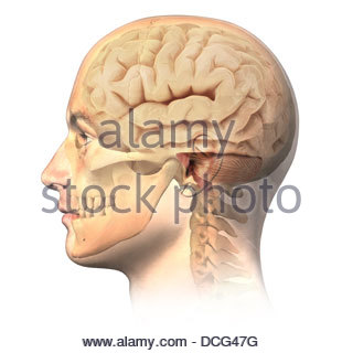 Anatomy of human head with skull and brain superimposed, side view. - Stock Photo