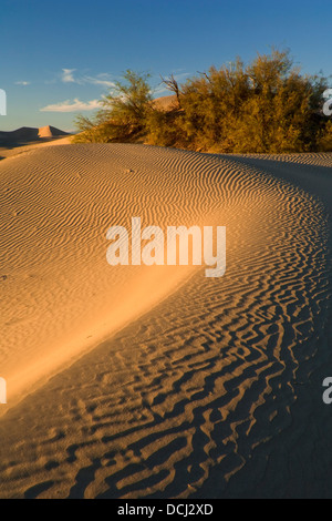 Desert bush in the Mesquite Sand Dunes, near Stovepipe Wells, Death Valley National Park, California - Stockfoto