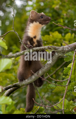 european pine marten baummarder baum marder edelmarder stock photo royalty free image. Black Bedroom Furniture Sets. Home Design Ideas