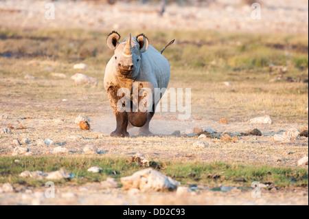 Black rhino (Diceros bicornis) charging, Rietfontein waterhole in Etosha Nationalpark, Namibia - Stock Photo