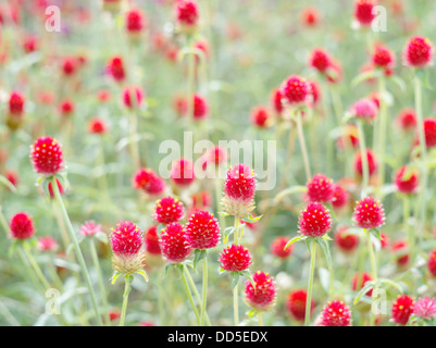 Globe amaranth - Stock Photo