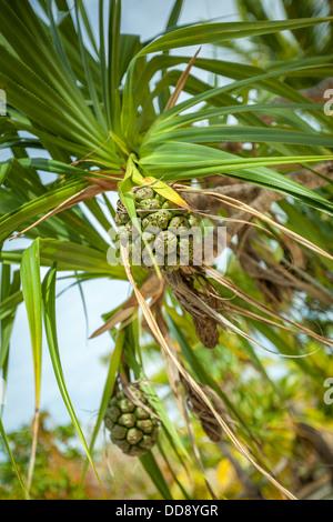 Noni fruit ( nonu morinda citrifolia rubiaceae ) growing on One Foot island in Aitutaki Lagoon - Stock Photo
