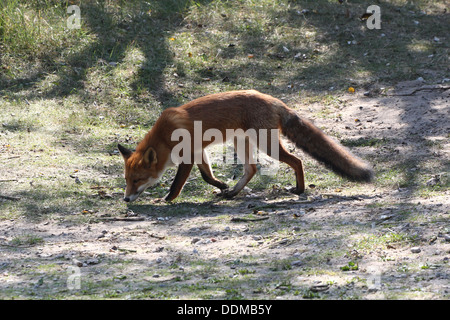 Red fox (vulpes vulpes)  on the prowl, hunting, looking for food - Stockfoto