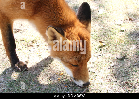 Red fox (vulpes vulpes)  picking up a scent and following a trail, looking for food - Stockfoto