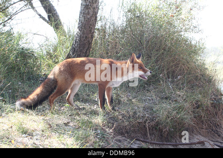 Detailed close-up of a  European red fox (vulpes vulpes) walking through the Dutch dunes - Stockfoto