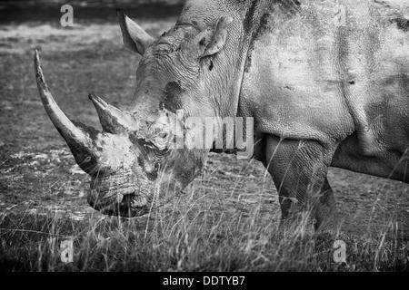 Single white rhino grazing: detail of head and front, side view in monochrome, Lake Nakuru, Kenya - Stock Photo