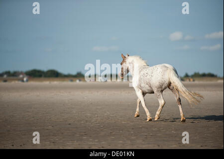 Pony trotting on the beach, St Peter Ording, Schleswig-Holstein - Stockfoto