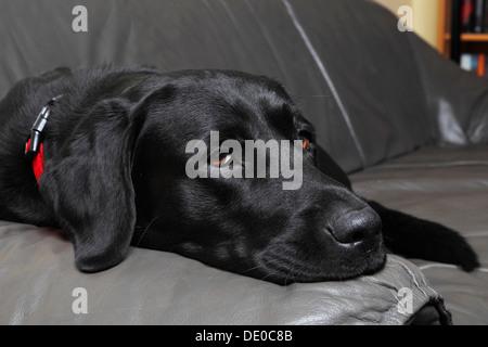 Black dog lying on back - photo#44