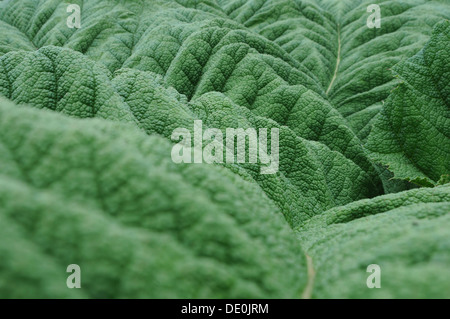 Giant Rhubarb (Gunnera manicata), leaf, detail view - Stock Photo