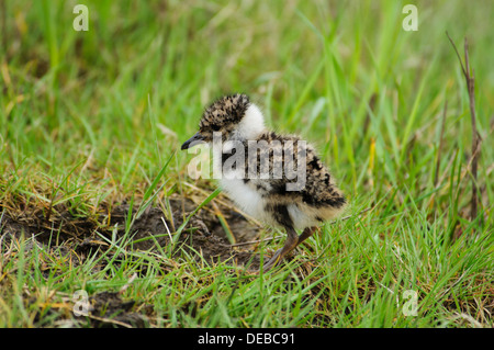 A newly hatched lapwing chick (Vanellus vanellus) in grassland at Elmley Marshes National Nature Reserve on the - Stock Photo