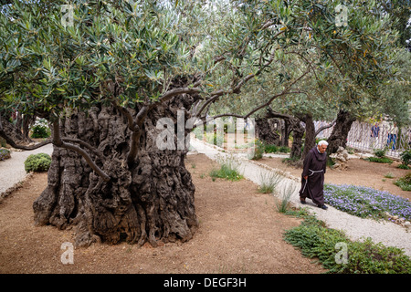 Israel Jerusalem Old Olive Trees In The Garden Of Gethsemane In The Stock Photo Royalty Free