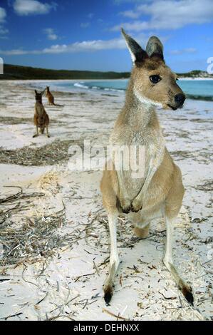 Western grey kangaroos (Macropus fuliginosus) on the beach at Lucky Bay, Cape Le Grand National Park, near Esperance, - Stock Photo