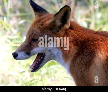 European Red fox mug shot, teeth bared - Stock Photo