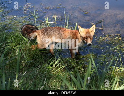 European Red fox in various pose while hunting and drinking water - Stockfoto