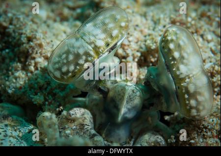 Mantis shrimp anatomy