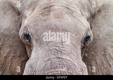 Close-up of an African Elephant (Loxodonta africana) drinking at a water hole, Botswana - Stock Photo