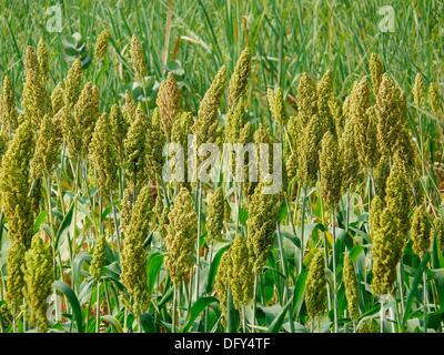 sorghum in india Top sorghum producing countries in the world the united states leads the world in sorghum production sorghum is an important cereal crop grown throughout the world the areas in india where sorghum is largely grown include the maharashtra and karnataka regions.