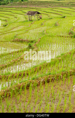 Farmer leaving shack in rice paddy fields laid in shallow terraces, Surakarta district, Solo river valley, Java, - Stock Photo