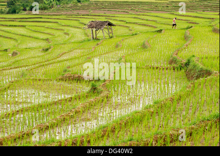 Farmer in rice paddy fields laid in shallow terraces, Surakarta district, Solo river valley, Java, Indonesia, Southeast - Stock Photo