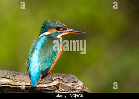 A colourful kingfisher perched on a branch. - Stockfoto