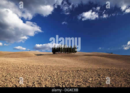 Cypress trees in the Val d'Orcia. - Stock Photo