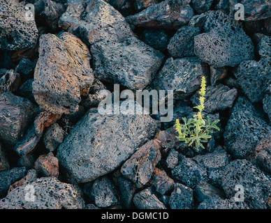 small green shoot volcanic rock Solidified lava fields Craters of the Moon National Monument Snake River Plain central - Stock Photo