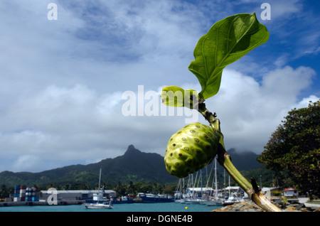Noni fruit and leaf on Morinda citrifolia tropical tree, grow near port of Avatiu in Avarua Rarotonga, Cook Islands - Stock Photo