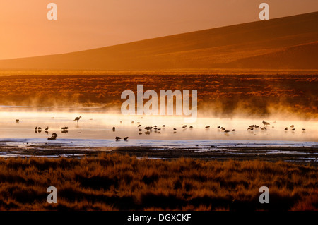 Hot springs with Flamingos (Phoenicopteriformes, Phoenicopteridae) in the steaming water, Uyuni, Bolivia, South - Stock Photo
