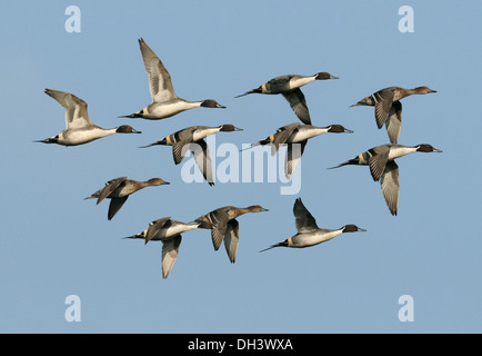 Pintail Anas acuta - Stock Photo