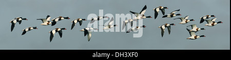 Shelduck Tadorna tadorna - Stock Photo