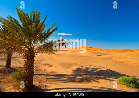 Date palms (Phoenix) in front of the sand dunes of Erg Chebbi, Sahara, Southern Morocco, Morocco, Africa - Stock Photo