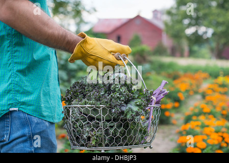 An organic vegetable garden on a farm. A man carrying a basket of freshly harvested green leaf crop. - Stock Photo