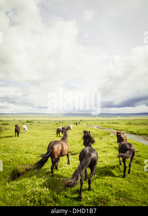 Iceland, Icelandic horses on grassland - Stock Photo