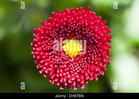 Daisy (Bellis) - Stock Photo
