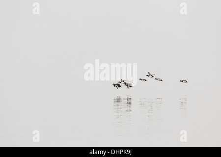 Netherlands, Lelystad, Lake called IJsselmeer. Wild ducks flying. Background cargo boat in morning mist - Stock Photo