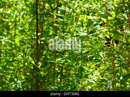 Green bamboo forest with sunlight as background - Stockfoto