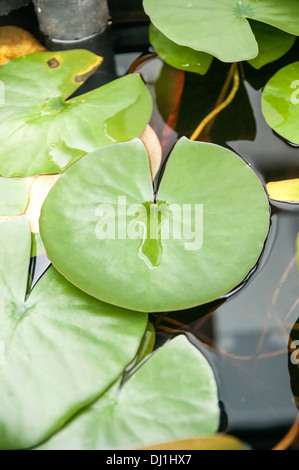 A colour portrait photograph of a white lotus lily pad. View from above top. Close up (macro) - Stock Photo
