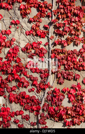 Boston Creeper growing on stone wall and showing autumn colours. - Stockfoto