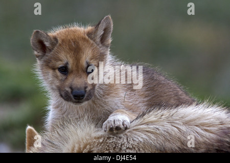 Greenland Husky whelp - Stock Photo