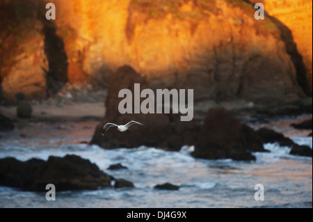 Western gull flying over pacific ocean off the coast of pescadero;Pescadero california united states of america - Stock Photo