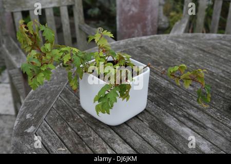 Grape Ivy (Parthenocissus Tricuspidata) In A White Pot - Stockfoto