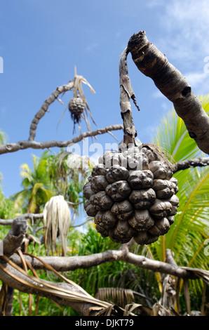 Dry Noni fruit and leaf on Morinda citrifolia tropical tree in Aitutaki lagoon Cook Islands. - Stock Photo