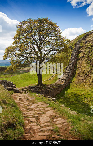 Sycamore Gap part of Hadrians Wall in Northumberland near the Scottish Borders - Stock Photo