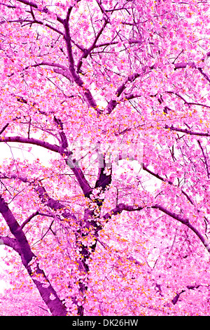 Low angle view of pink cherry blossoms on spring tree - Stock Photo