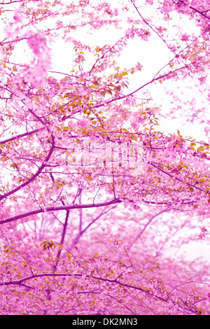 Low angle view of pink cherry blossoms on spring tree branches - Stock Photo