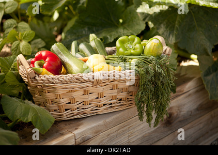 Variety of organic harvested vegetables in basket in vegetable garden - Stock Photo