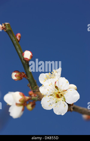 Plum blossoms - Stock Photo