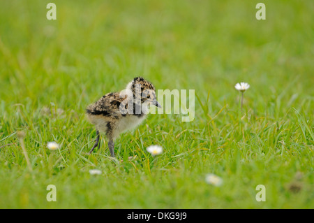 Northern lapwing (Vanellus vanellus). Cheick, estimated 2-3 days old - Stock Photo